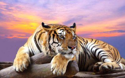 Webkunner heeft een tijger geadopteerd